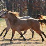 אילוף סוסים